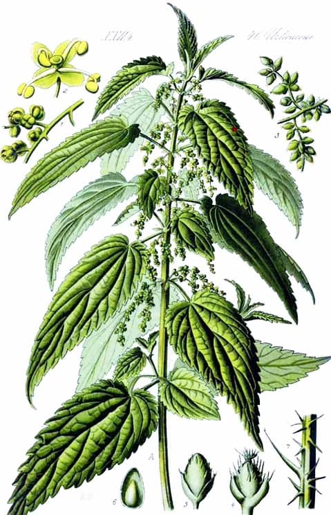 How to Use Nettle for Energetic Cleansing